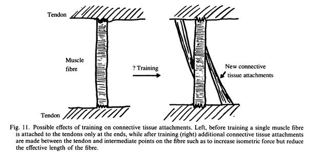Физиологические изменения в скелетной мышце