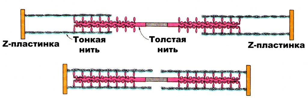 Архитектура скелетных мышц