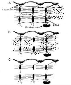 Механизмы миофибриллярной гипертрофии скелетных мышц человека
