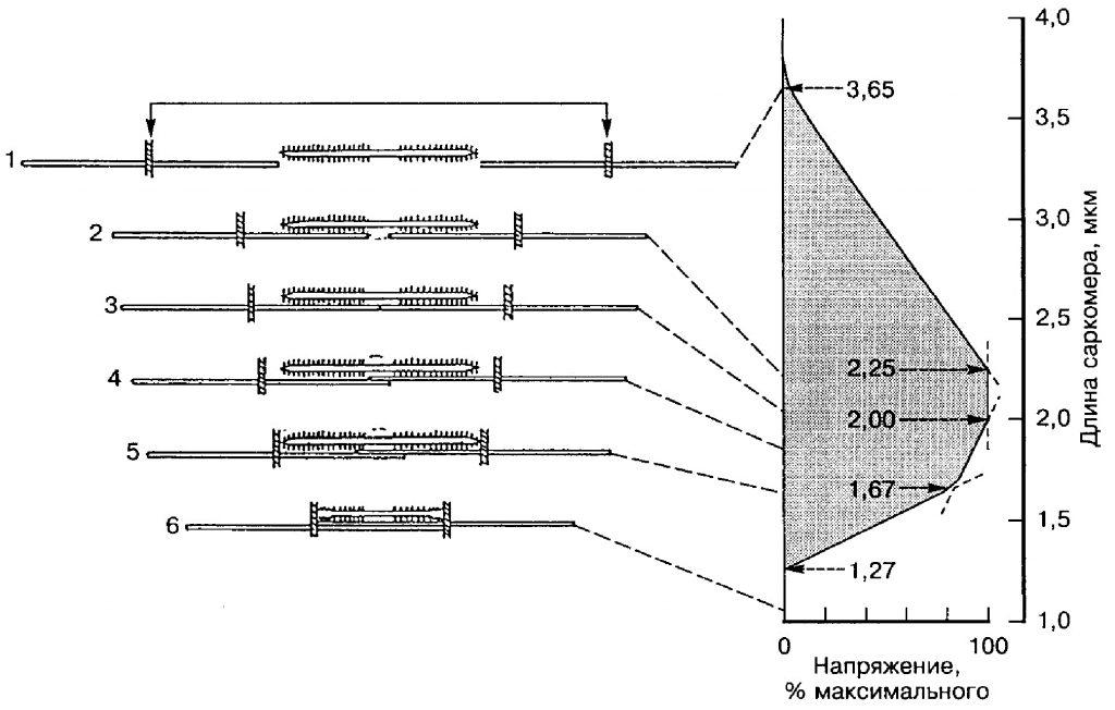Биомеханические свойства скелетных мышц человека