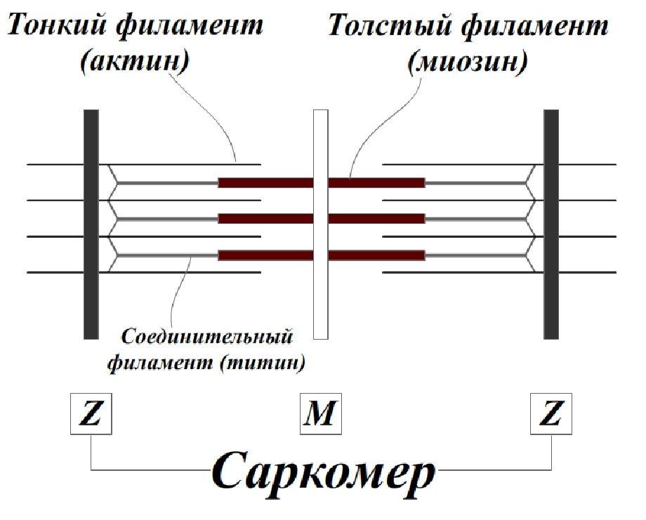 Влияние тренировки с большими отягощениями на гипертрофию скелетных мышц