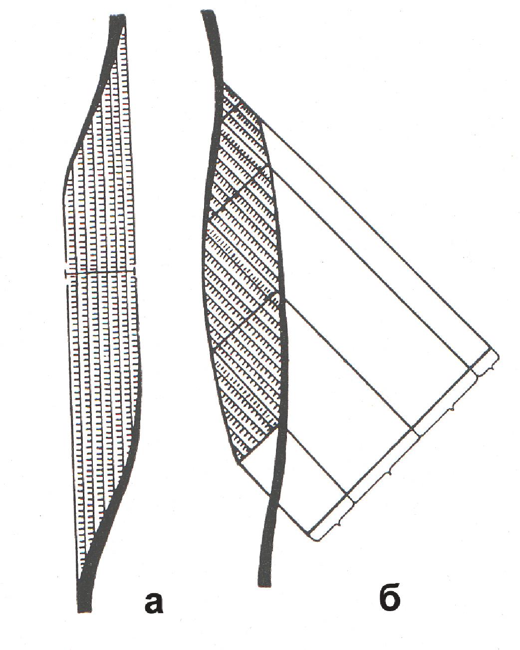 схема двуглавой мышцы бицепса