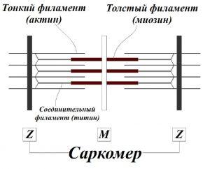 Обоснование механизмов гипертрофии скелетных мышц человека