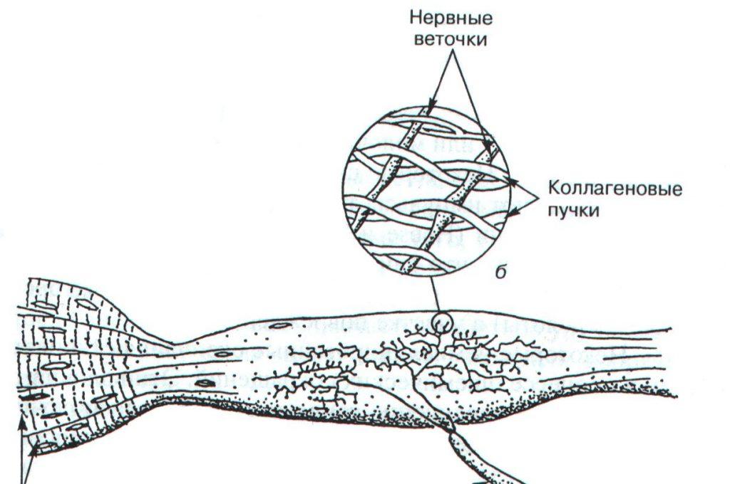 Рецепторы скелетных мышц и суставов человека