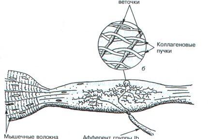 Миниатюра для записи Рецепторы скелетных мышц и суставов человека