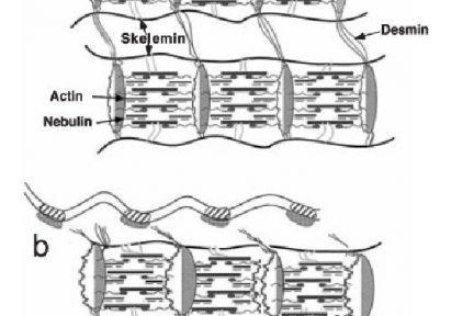 Миниатюра для записи Влияние тренировок, выполняемых в различных режимах сокращения на гипертрофию мышц