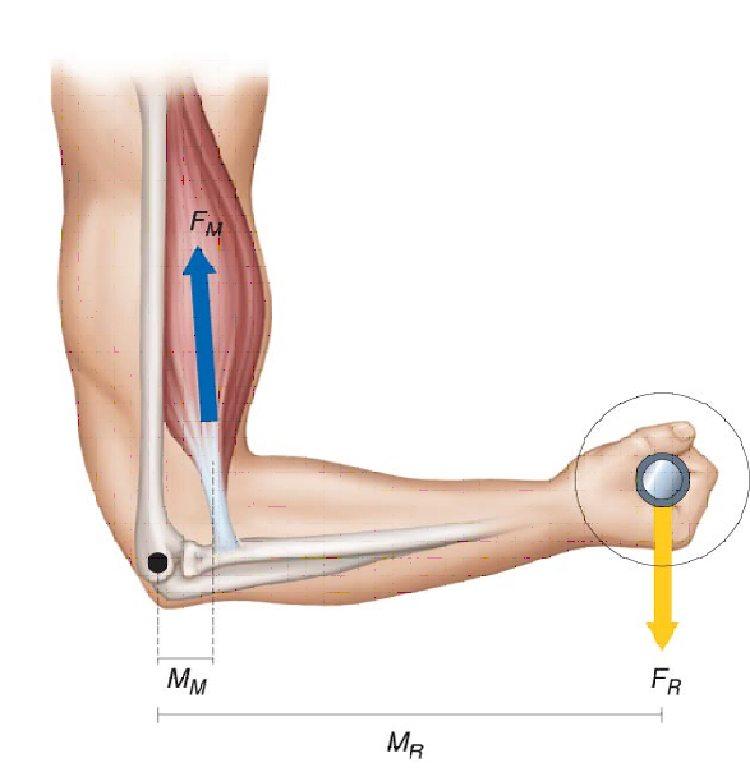 Результирующее действие мышц в организме человека