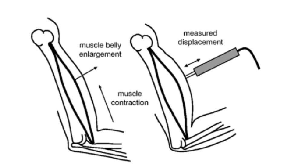 Методы оценки композиции мышечных волокон
