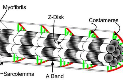 Миниатюра для записи Состав и структура миофибриллы
