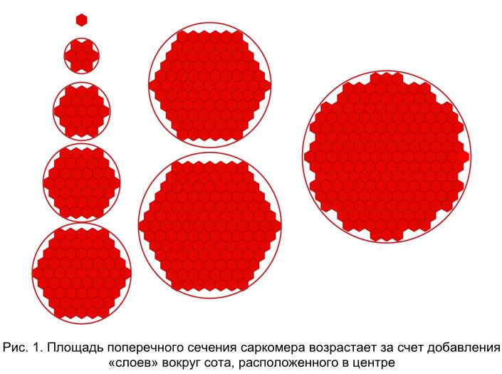 Количество толстых и тонких филаментов в саркомере