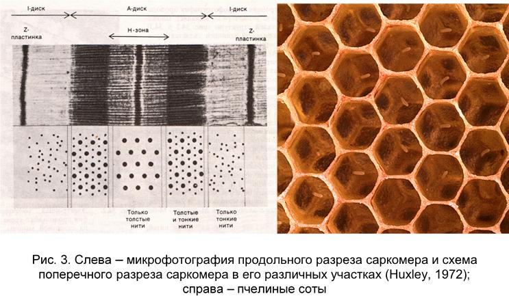 Сот - структурная единица саркомера