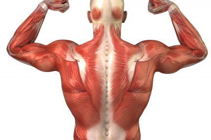 Миниатюра для записи Классификация скелетных мышц по П.Ф.Лесгафту