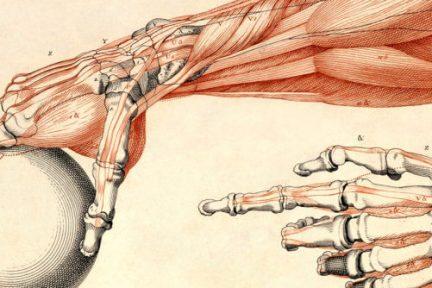 Миниатюра для записи Односуставные и двусуставные мышцы