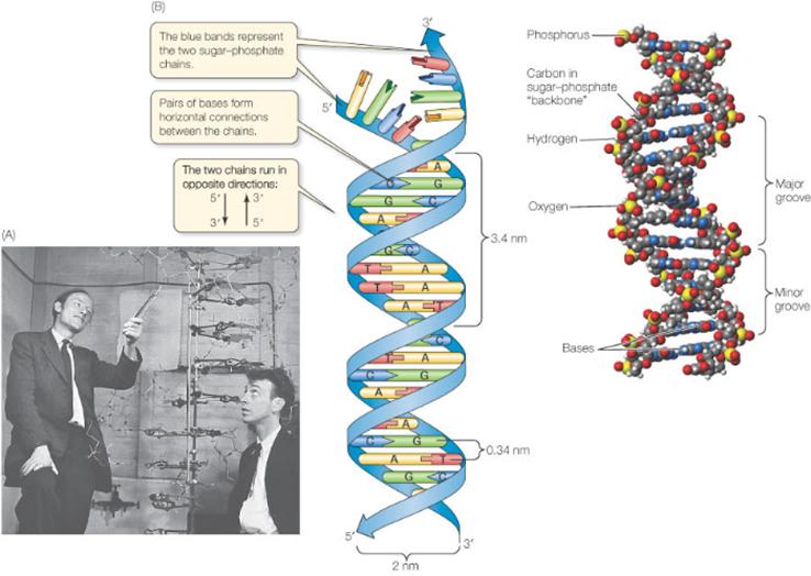 Как была открыта структура ДНК