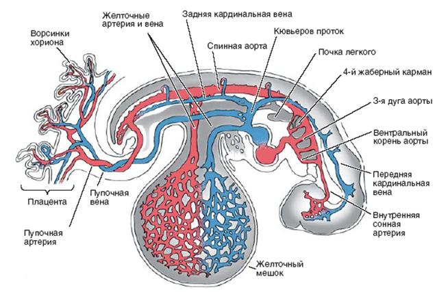 Ангиогенез в скелетных мышцах человека