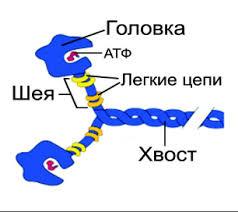 Миниатюра для записи Миозин в мышечных волокнах