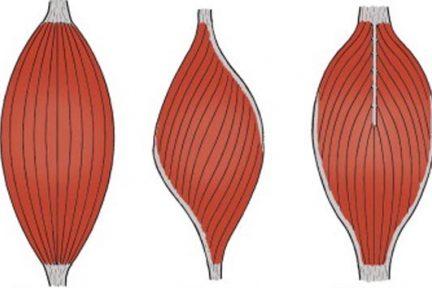 Миниатюра для записи Особенности функционирования перистых мышц