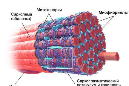 Миниатюра для записи Саркоплазма мышечных волокон
