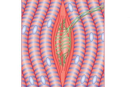 Миниатюра для записи Рецепторы скелетной мышцы (мышечные веретена)