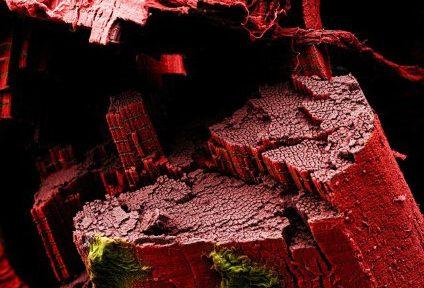 Миниатюра для записи Характеристика мышечных волокон скелетных мышц