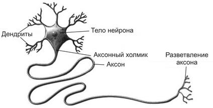 Иннервация скелетной мышцы