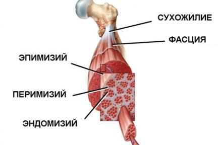 Миниатюра для записи Соединительно-тканные оболочки мышцы и мышечных волокон