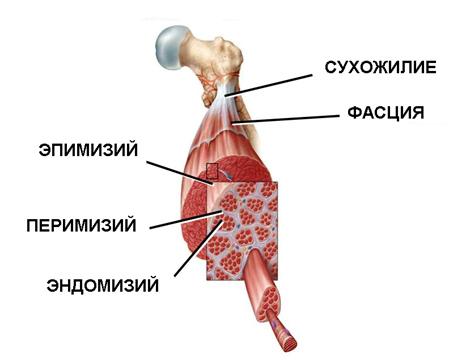 Соединительно-тканные оболочки мышцы и мышечных волокон