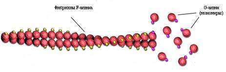 Актин в мышечных волокнах