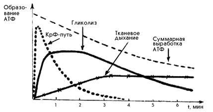 Ресинтез АТФ в мышечных волокнах