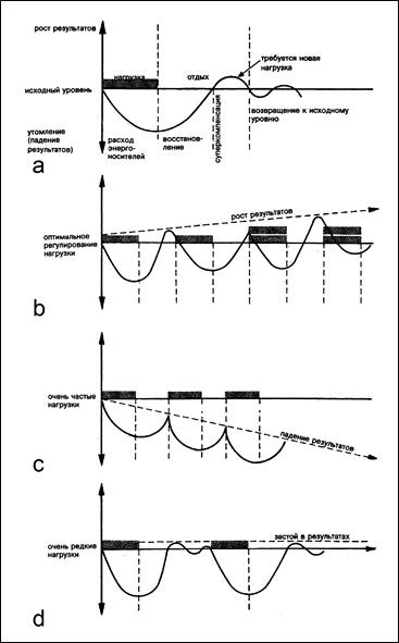 Адаптация скелетных мышц человека к физическим нагрузкам