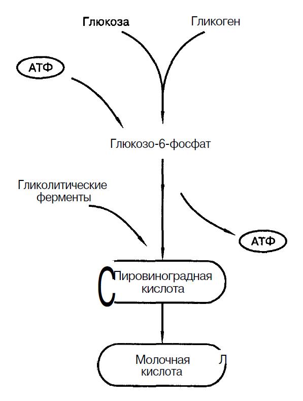 Гликолиз в мышечных волокнах