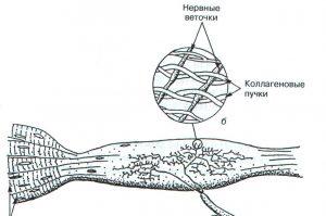 Рецепторы скелетной мышцы (рецепторы Гольджи)