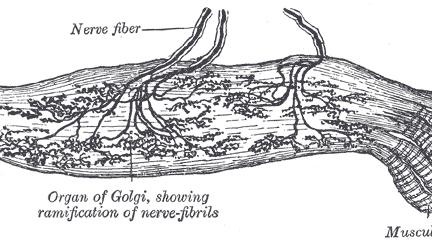 Миниатюра для записи Рецепторы скелетной мышцы (рецепторы Гольджи)