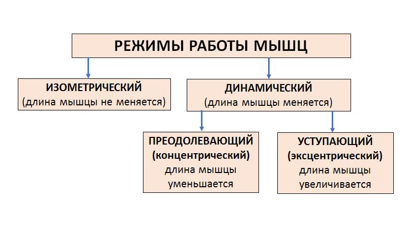 Режимы работы (сокращения) мышц