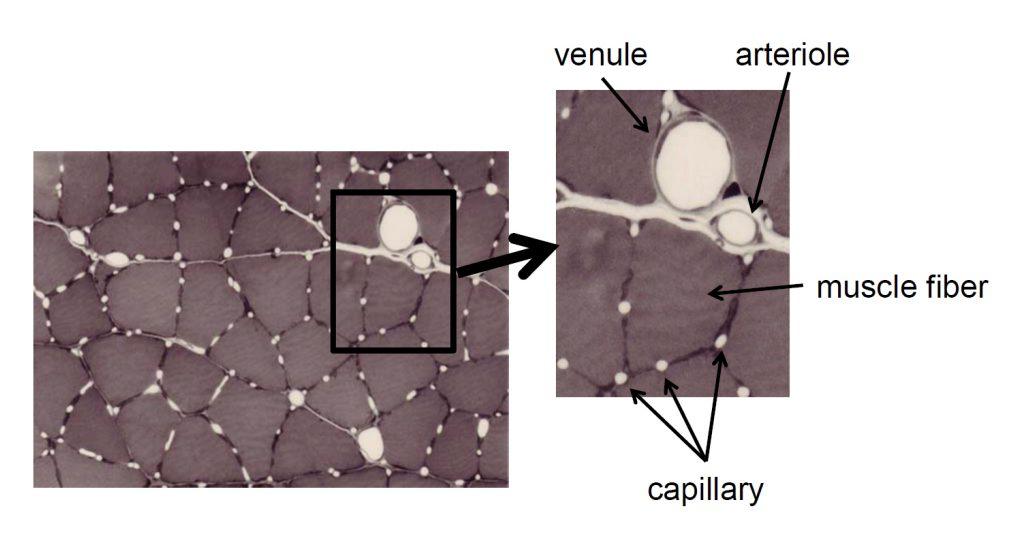 Кровеносные сосуды скелетной мышцы