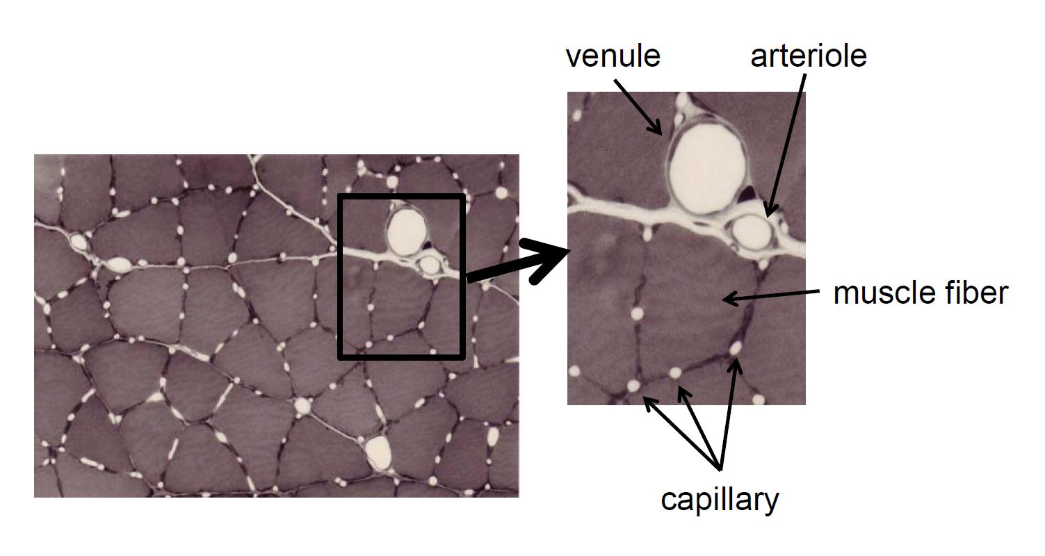 Капилляризация и объем мышечного волокна у молодых и пожилых