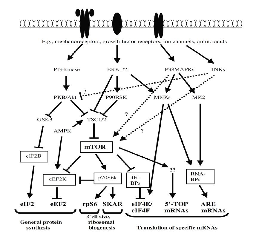 Стимулы и сигнальные пути гипоксической силовой тренировки