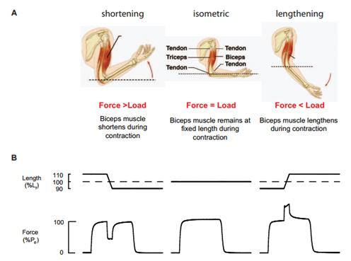 Возрастные изменения структуры и функции скелетных мышц
