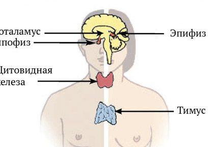 Миниатюра для записи Эндокринная система человека