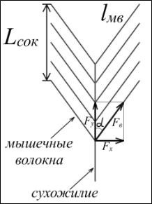 Биомеханика мышц параллельного и перистого типа