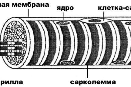Миниатюра для записи Клетки-сателлиты