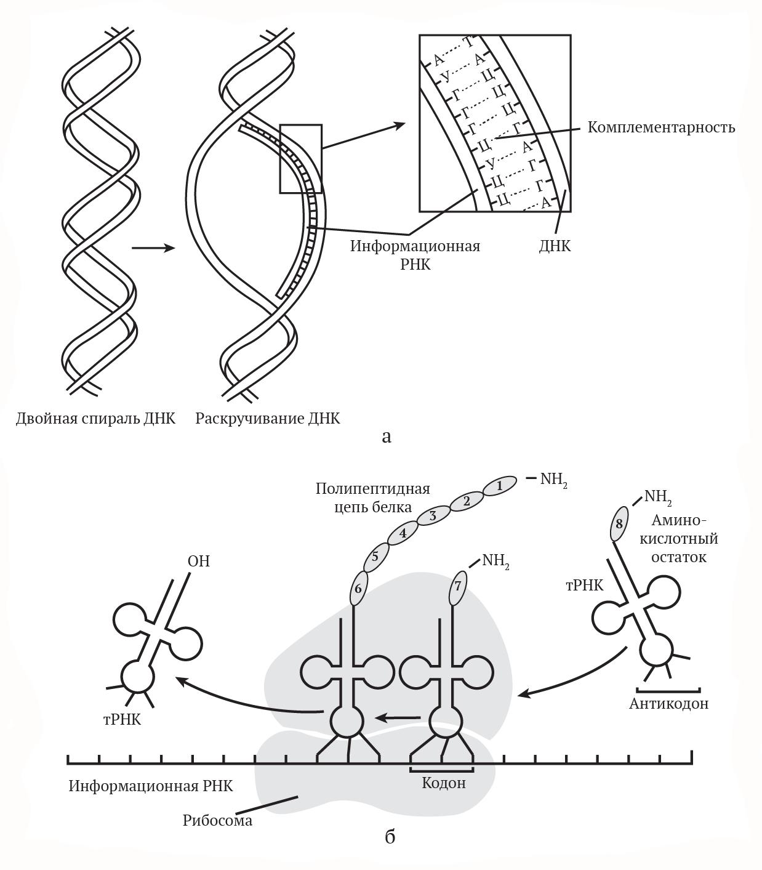 Синтез белков в мышечных волокнах