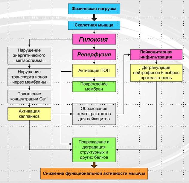 Концепция повреждения мышечных волокон под влиянием силовой тренировки