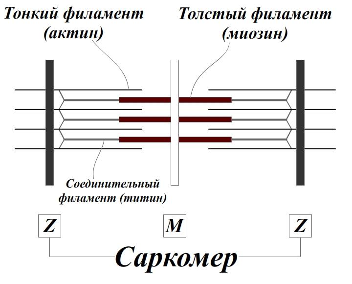 Состав и структура саркомера