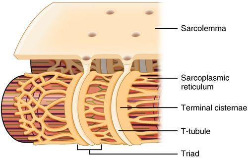Эндоплазматическая сеть мышечного волокна