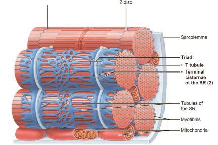 Миниатюра для записи Эндоплазматическая сеть мышечного волокна