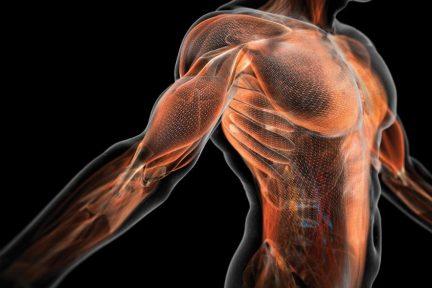 Миниатюра для записи Скелетная мышца как орган
