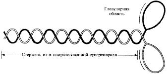 Миозин в мышечных волокнах