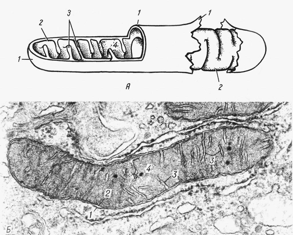 Митохондрии мышечного волокна