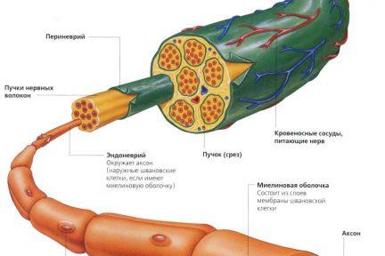 Миниатюра для записи Иннервация скелетной мышцы